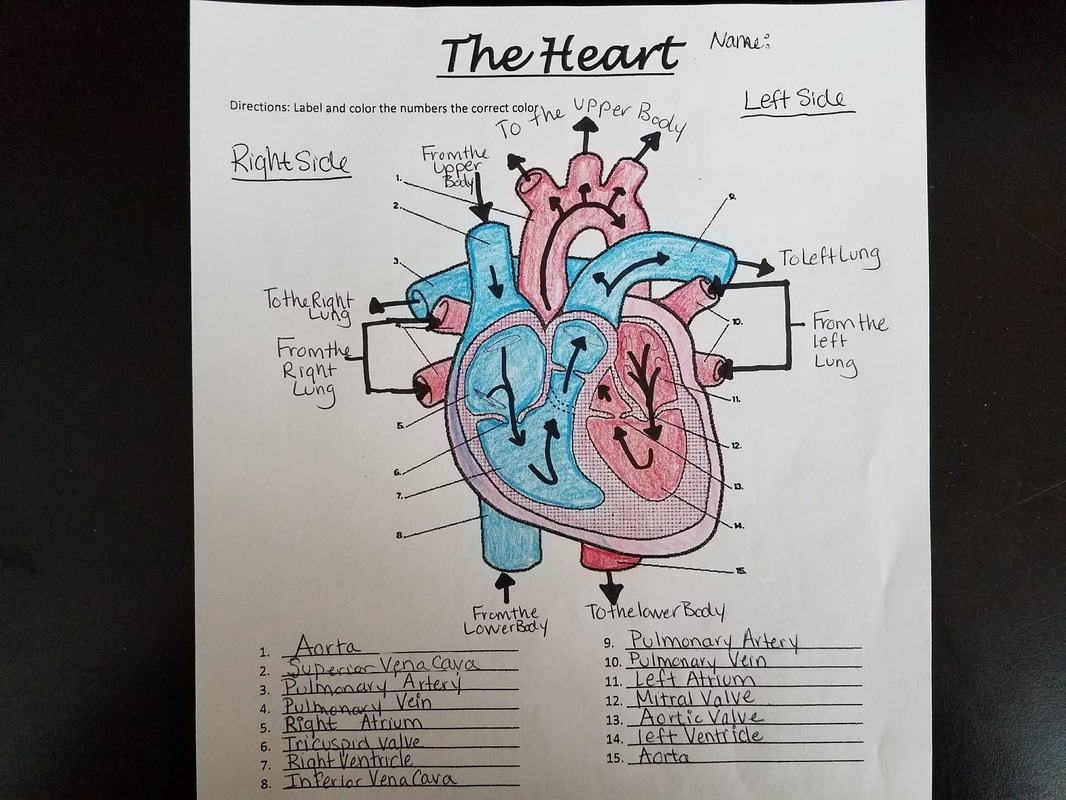 Daily lessons plans bell ringer work sheet on respiratory system worksheets encore vocab and circulatory system go over answers for respiratory and circulatory bell ccuart Images